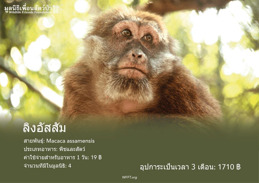 ลิงอัสสัม