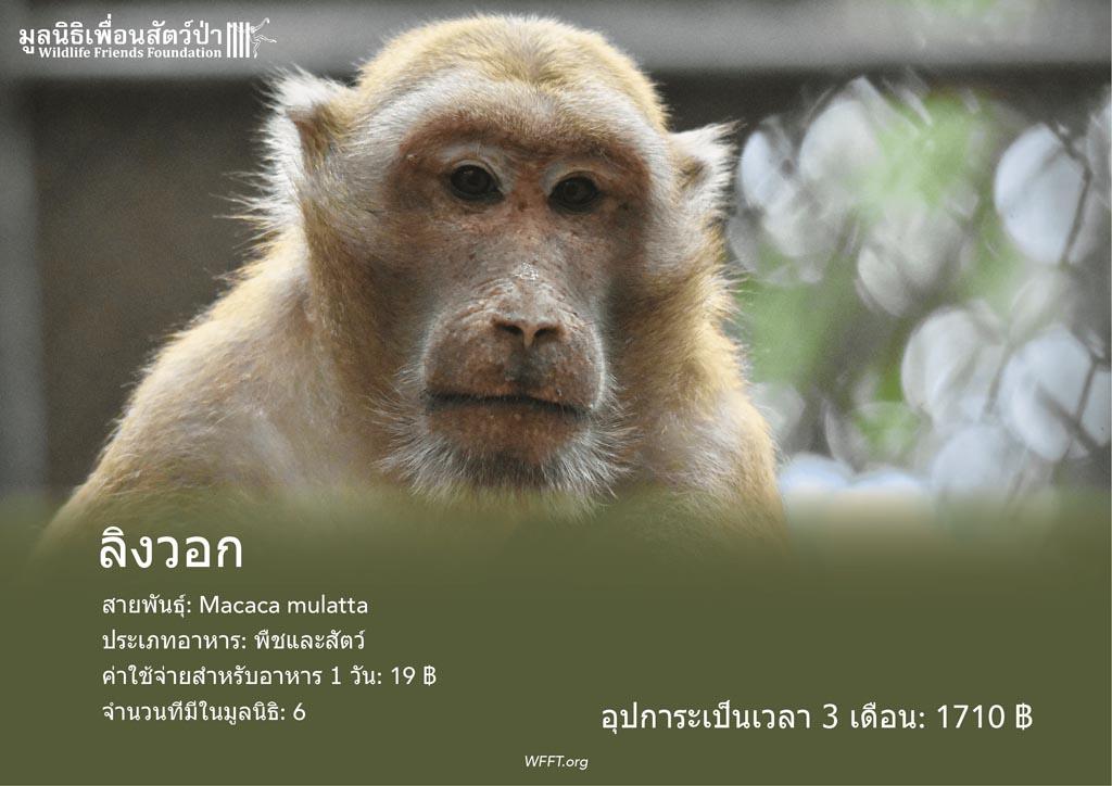 ลิงวอก