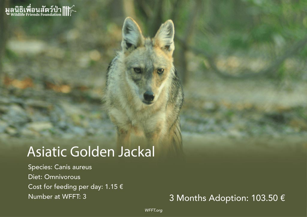 Asiatic Golden Jackals