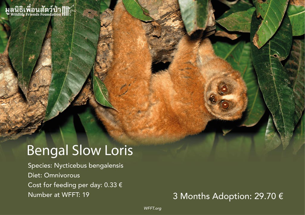 Bengal Slow Lorises