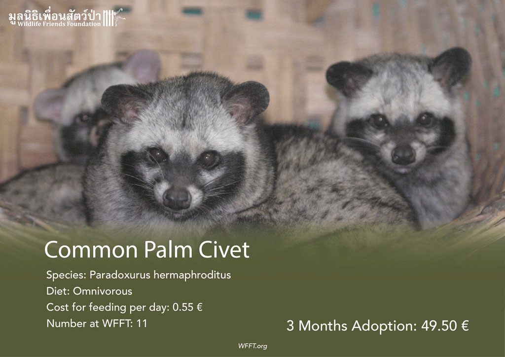 Common Palm Civets