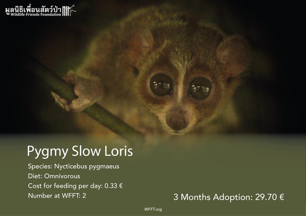 Pygmy Slow Lorises