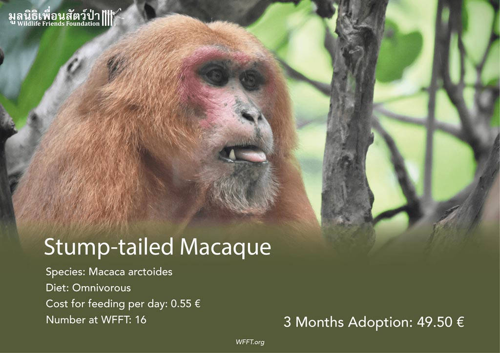 Stump-tailed Macaques