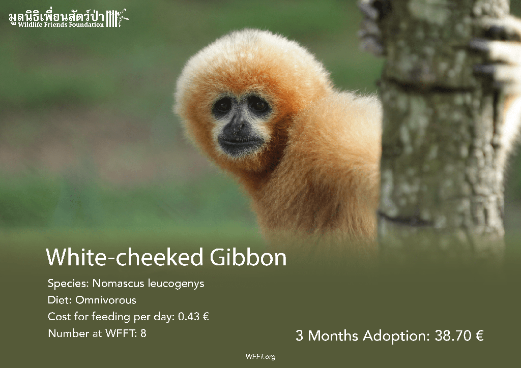White-cheeked Gibbons